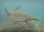 ノースショアアリイビーチ水中の海亀12.JPG
