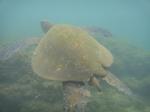 ノースショアアリイビーチ水中の海亀14.JPG