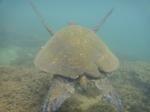 ノースショアアリイビーチ水中の海亀15.JPG