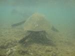 ノースショアアリイビーチ水中の海亀3.JPG