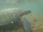 ノースショアアリイビーチ水中の海亀8.JPG
