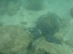 ノースショアラニアケアビーチ海中の海ガメ1.JPG