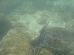 ノースショアラニアケアビーチ海中の海ガメ4.JPG