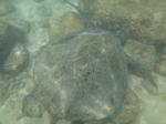 ノースショアラニアケアビーチ海中の海ガメ6.JPG