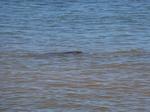 ハレイワビーチパーク海亀ビーチで泳ぐ海亀1.JPG