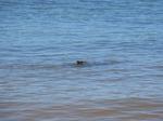 ハレイワビーチパーク海亀ビーチで泳ぐ海亀2.JPG