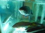 全聚徳尖沙咀店生簀水槽の魚2.JPG