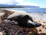 ハワイオアフ島ノースショアハレイワオールドタウンの海亀