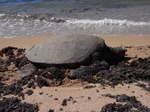ハワイオアフ島ノースショアラニケアビーチの海亀