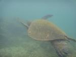 ノースショアアリイビーチ水中の海亀13.JPG
