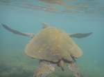 ノースショアアリイビーチ水中の海亀16.JPG
