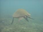 ノースショアアリイビーチ水中の海亀17.JPG
