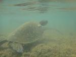 ノースショアアリイビーチ水中の海亀2.JPG