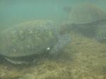 ノースショアアリイビーチ水中の海亀4.JPG