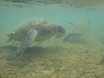 ノースショアアリイビーチ水中の海亀5.JPG