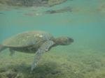 ノースショアアリイビーチ水中の海亀6.JPG