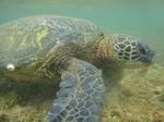 ノースショアアリイビーチ水中の海亀9.JPG