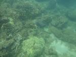 ノースショアスリーテーブルズ海中の珊瑚1.JPG